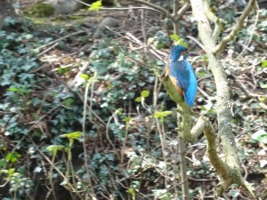 Kingfisher on the Grand Union